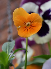 An Orange Viola  With a Pansy in the background. (Joshua Clark.) Tags: camera pink orange plant flower macro green up grass yellow garden photo stem northampton pretty close purple background northamptonshire pansy an soil colourful viola foreground the varigated in