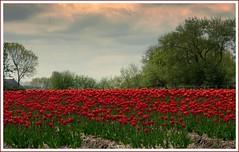 Tulip field near Ee, Friesland, Netherlands (Noorderland) Tags: flowers red landscape lumix tulips breathtaking netherlandsnederland tulipsfromholland tz7 frieslandfrysln flickraward platinumheartaward noorderland breathtakinggoldaward zs3 platinumpeaceaward panasoniclumixtz7zs3 breathtakinghalloffame