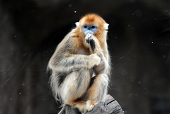 Golden snub nosed monkey (floridapfe) Tags: animal zoo monkey golden nikon korea everland  goldenmonkey d80