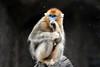 Golden snub nosed monkey (floridapfe) Tags: animal zoo monkey golden nikon korea everland 에버랜드 goldenmonkey d80