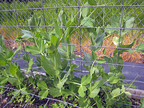 Vegetable Garden May 16