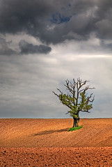 Tree in a Ploughed Field 2