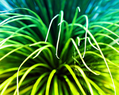 Palm (Mary Vican) Tags: blue plant abstract color macro green succulent surreal spray foliage layers lightening graduated palmleaves