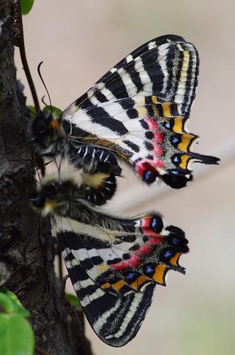 Mating Luehdorfia japonica