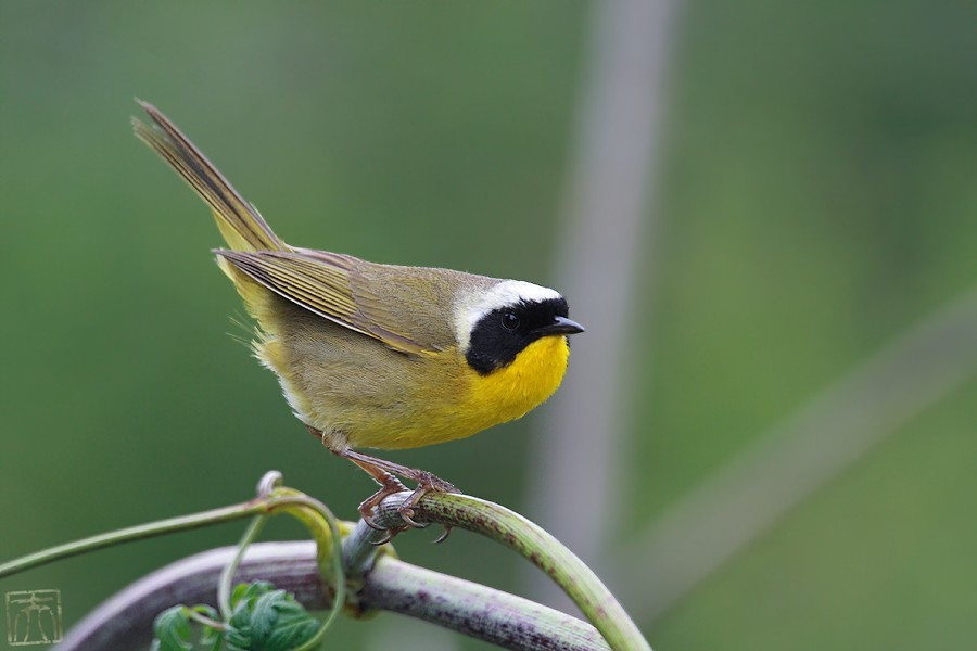 Common Yellowthroat 0510o-1