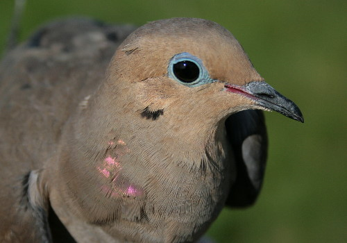 Mourning Dove - female