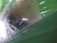 Two tiny orioles, swinging in the banana leaves