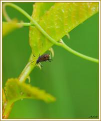 Afide su rovo (Ilsewitch) Tags: macro italia natura fiori collina insetti nikond60 micronikkor105f28