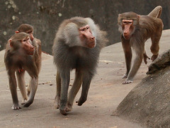 Mantelpaviane / Hamadryas Baboons (Papio hamadryas) (Sexecutioner) Tags: nature animal animals digital canon germany zoo monkey tiere fight hessen wildlife natur baboon fighting apes tier frankfurter baboons 2010 baviaan hamadryasbaboon papiohamadryas pavian babian frankfurterzoo kampf frankurt kmpfen zoofrankfurt sacredbaboon babuin paviane mantelpavian dogape abigfave mantelpaviane copyrightsexecutioner droguera bjrnbabian gulbabian mantelbabian rdbabian