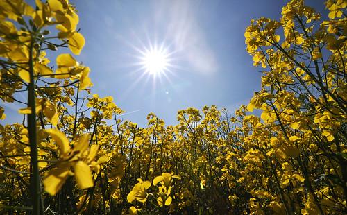 フリー写真素材, 花・植物, アブラナ科, 菜の花, 田畑・農場, 黄色の花, ドイツ, 日光・太陽光線,