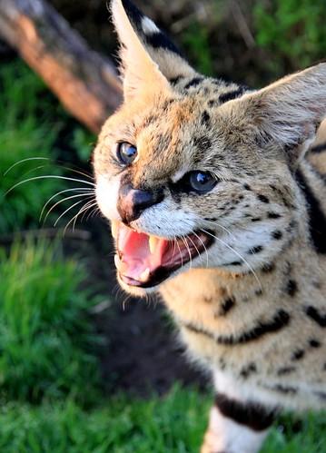 Male serval Morpheus hissing