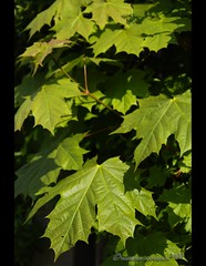 Ahorn (mcPhotoArts) Tags: green nature leaves spring maple natur grn bltter frhling ahorn photoshopcs4 bumblebeephotografix canoneos550d canonefs18135mmf3556is