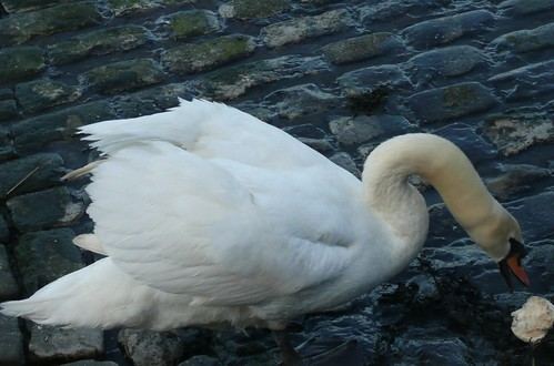 Swan at Waterside Lane,Gillingham,Kent