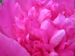 Peony (JnnLynn) Tags: pink plant flower macro green nikon coolpix phoney p100 digitalcameraclub nikonpassion wonderfulworldofflowers theperfectpinkdiamond