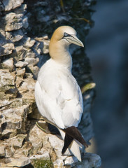 Gannet (Morus bassanus) Adult at RSPB Bempton Cliffs (Steve Greaves) Tags: sea cliff bird nature rock coast adult bokeh wildlife aves naturalhistory coastal ledge avian seabird gannet northerngannet morusbassanus bemptoncliffs sulabassana nikond300 globalbirdtrekkers nikonafsii400mmf28ifedlens