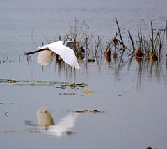 heron flying (*reina*) Tags: statepark white lake heron flying texas marsh brazosbend skimming