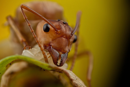 it's always good to look close 31 - Weaver Ant