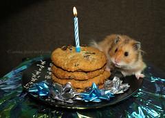Birthday Cookies & Chaos (.annajane) Tags: birthday pet cute cookies golden candle chaos celebration gift hamster present bows kk syrian fluffernutter oatmealraisin mesocricetusauratus fluffmeister fluffinator