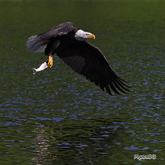 Bald Eagle with Fish, Green Timbers Urban Forest, Surrey BC (PhotoDG) Tags: park lake fish bird nature rainbow fishing bc eagle action birding baldeagle surrey raptor trout 猛禽 eos30d 鷹 ef100400mmf4556lisusm ef100400mm greentimbersurbanforestpark greentimbersurbanforest 白頭海鵰 白頭鷹 禿頭鷹