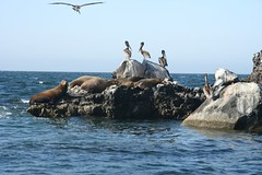 California Sea Lions and Pelicans