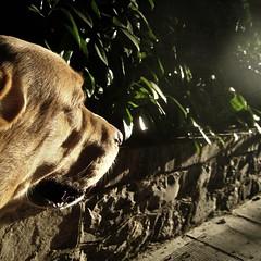 My Gps pointed to the joy (dangeri.away) Tags: dog loving labrador perro doc doggie perrito musetto streetstories explored petlover thelittledoglaughed heismylove doggielife miocucciolo ourdailylife thetakenpath myyellowlabrador hehasanadorablesnout