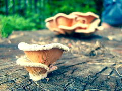 (kuckolonia) Tags: nature mushroom fungi fungus stump cracks