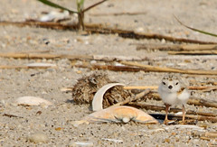 Piping Plover chick (auburnxc) Tags: baby water animals newjersey spring sand may nj chick capemay apc pipingplover eastcoast 2010 atlanticcoast charadriusmelodus pipingploverchick auburnphotographyclub may302010