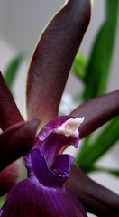 (jankarelkok) Tags: orchid flower macro nature flowerotica theunforgettablepictures