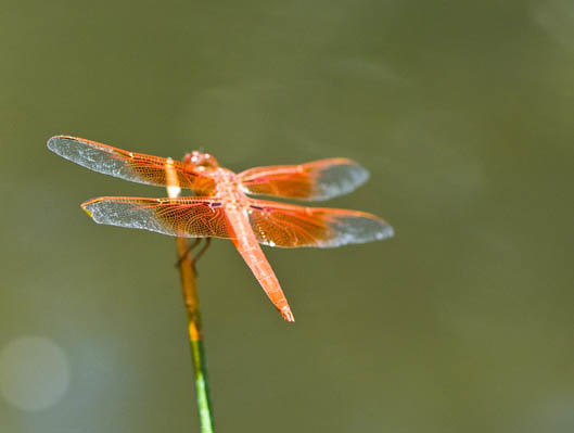Extremely orange dragonfly