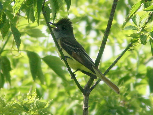 Great Crested Flycatcher 2-20100610