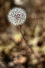 [フリー画像] 花・植物, キク科, タンポポ, 種子, 201006151300