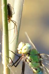unidentified spider (Sibylle Stofer) Tags: white nature schweiz switzerland spider pond stripes wildlife zurich zrich libelle altstetten unidentified odonata weiher anisoptera anaximperator emperordragonfly grosslibellen grosseknigslibelle 2010061045593