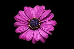 Gerbera- lila (Walter-Wilhelm) Tags: flower lila gerbera