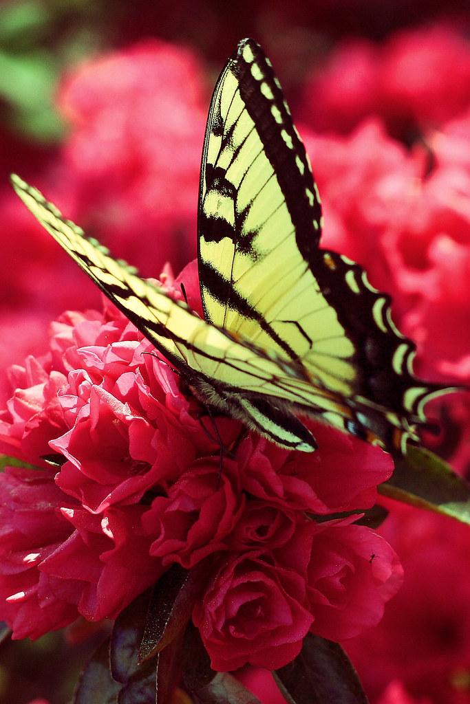 Swallowtail edit