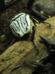 Bronx Zoo - Goliath Beetle (fkalltheway) Tags: beetle bronxzoo goliathbeetle congogorillaforest goliathus fkalltheway