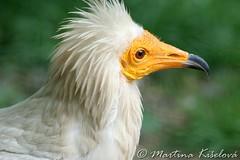 Yellow head :) (Marhi_226) Tags: bird birds prague praha vulture sup marhi ptci neophronpercnopterus egyptianvulture supmrchorav