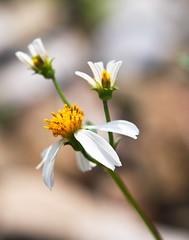 _24 (rickyguan6978) Tags: flower miaoli   20100306