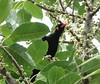 Hill Myna (tom_2014) Tags: bird colorful asia starling malaysia penang ornithology mimic religiosa myna graculareligiosa passerine gracula penangnationalpark