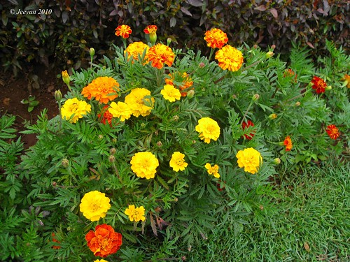 colorful marigolds