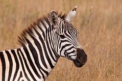 _DSC0063.jpg (mary~lou) Tags: africa portrait animal fletcher one nikon stripes mary profile zebra d90 15challengeswinner thechallengegame challengegamewinner mary~lou pregamesweepwinner