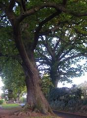 Nesscliffe oak trees (wonky knee) Tags: uk oaks ancienttrees nesscliffe shrophire arbreancien arbreenorme altebaum grossebaum