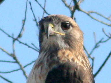 Red-tailed Hawk detail head 20101102