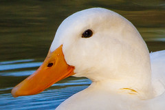 Portrait (Karmen Smolnikar) Tags: portrait white nature animal duck waterbird