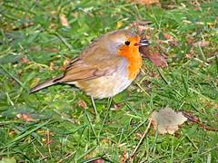 Robin (Rob Felton) Tags: bird robin garden bedford fight blood erithacusrubecula bedfordshire birdfeeder felton europeanrobin territory territorial cardington robertfelton