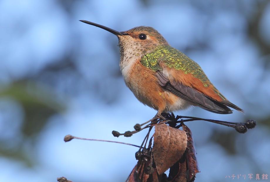 Allen's Hummingbird 110810