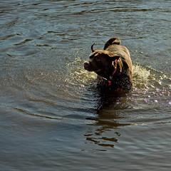 Baggins #1 (The Image Den) Tags: november autumn dog fun pond nikon labrador chocolate hampshire southampton splashing southamptoncommon d5000