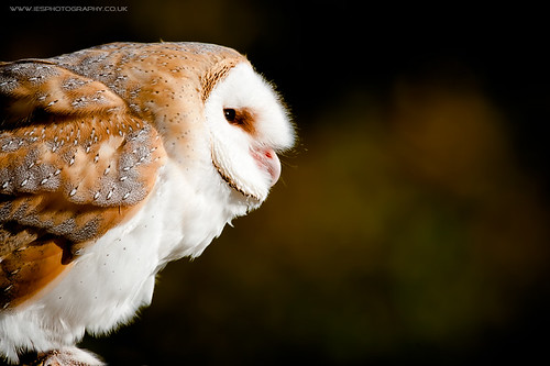 BWC Owl Day - Barn Owl