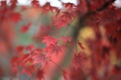 Japanese Maple Leaves (Apricot Cafe) Tags: red japan f14 canonef50mmf14usm tokyo東京 superaplus aplusphoto yakushiikepark薬師池公園 platinumheartaward autumnleaves紅葉 japanesemapleもみじ