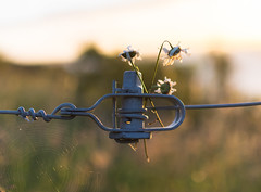 Daisy Chain (jasty78) Tags: daisy fence morning goldenhour sunrise nikon d7200 sigma350mmf14 14mm bokeh