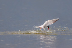 Just a Tiddler (shaftina©tion) Tags: common commontern eating sternahirundo sternidae tern wetlands avian bird capturing catching diving droplets drops feathers fish fishing grabbing low migratory paulfarnfieldcom profile seaswallow shaftinactioncom side sideview soaked splash splashing submerging view water wet